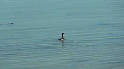 A cute little killer grebe. They make a noise like a squeaky toy